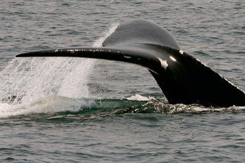 Protection des baleines: la Gaspésie continue de subir les contrecoups économiques