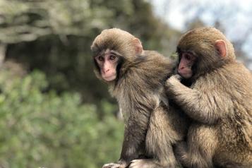 L'épouillage par les macaques manchots