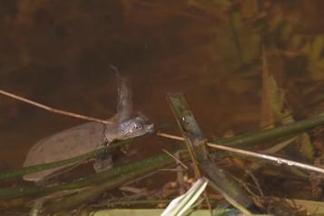 Protection de la tortue molle à épines Québec fait l'acquisition de terres en Montérégie)