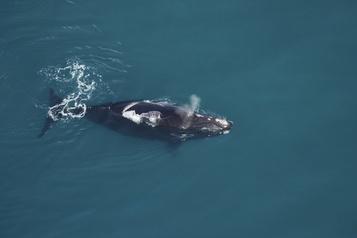 La baleine noire trouvée morte au New Jersey frappée par un navire)