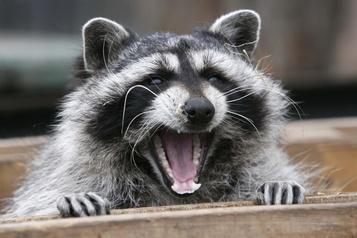 Québec poursuit sa lutte contre la rage du raton laveur