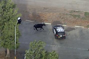 Une vache graciée après son évasion d'un abattoir à Los Angeles)