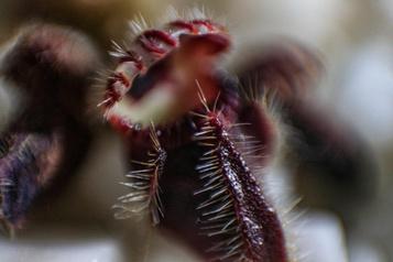 Plantes insectivores: elles mangent des insectes