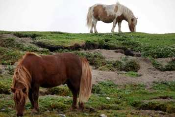 Petits, jolis, thérapeutiques: les poneys Shetland ont la cote avec la pandémie