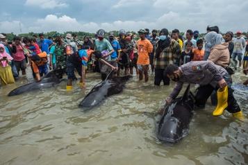 Indonésie 46 globicéphales meurent sur une plage, trois sont sauvées)