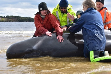 Un 110eglobicéphale secouru en Tasmanie)
