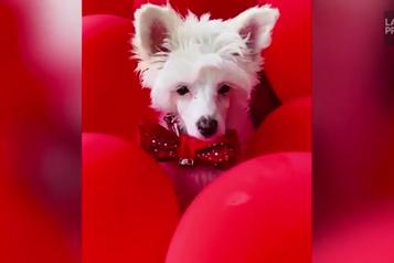 3500 dollars en décorations de Noël...pour son chien )