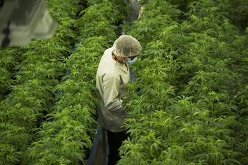 Canopy a vendu moins de cannabis récréatif)