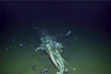 Le Nautilus surprend des détritivores sur une carcasse de baleine
