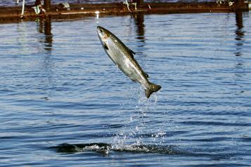 Le saumon de l'Atlantique reste en difficulté)