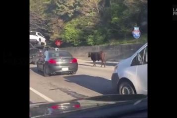 Une vache cause la fermeture d'une autoroute à Atlanta)