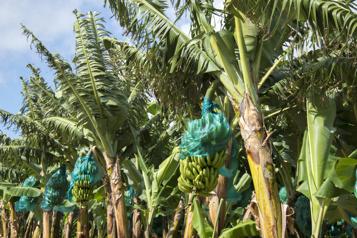 Insecticide toxique Un scandale environnemental qui perdure en Guadeloupe et en Martinique)