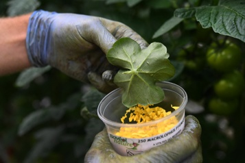 Une pouponnière de millions d'insectes pour protéger les tomates)