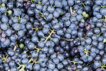 Des vignobles ont besoin de bras pour les vendanges)