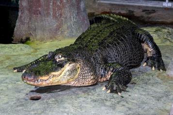 Un alligator légendaire meurt à 84ans au zoo de Moscou)