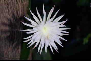 Une fleur de cactus qui s'épanouit une fois l'an et qui dure juste une nuit)