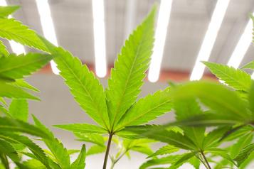 Autonomie alimentaire Électricité moins chère pour les serres, même celles de cannabis )