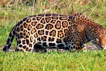 Colombie Un éleveur de bétail a choisi de cohabiter avec les jaguars)