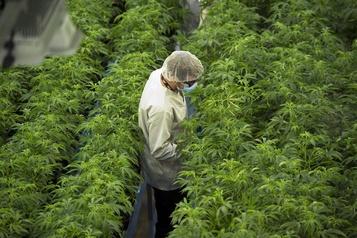 Canopy Growth reporte le lancement de boissons infusées au cannabis