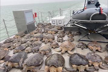 Texas Des milliers de tortues engourdies par le froid recueillies dans un centre communautaire)