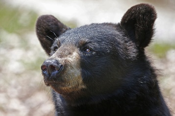 Un ours noir s'invite chez le barbier en Alberta