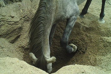 Des puits creusés par les chevaux et les ânes désaltèrent tous les animaux)
