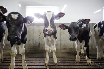 COVID-19 Les éleveurs de veaux de lait demandent l'aide de Québec)