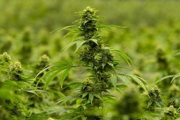 Hexo détruit du cannabis cultivé sans licence
