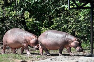 Colombie Les hippopotames d'Escobar menacent l'environnement)