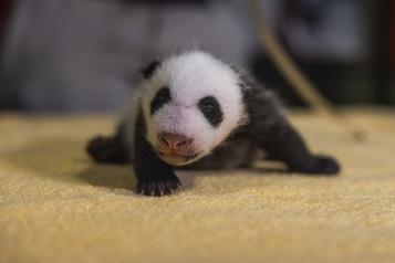 Le zoo de Washington révèle le sexe de son dernier bébé panda)