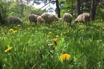 Agriculture urbaine parmi les moutons)
