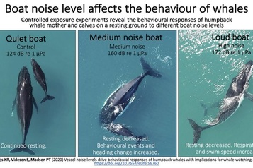 Baleines: l'allaitement souffre du bruit)
