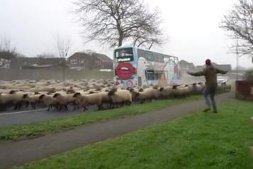 Un troupeau de moutons déferle sur une banlieue anglaise)
