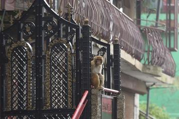 Inde Des milliers de singes terrorisent une ville touristique )