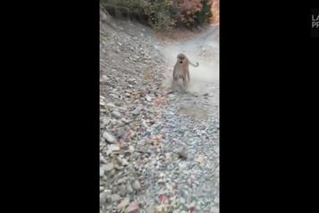 Poursuivi par un cougar durant une randonnée)