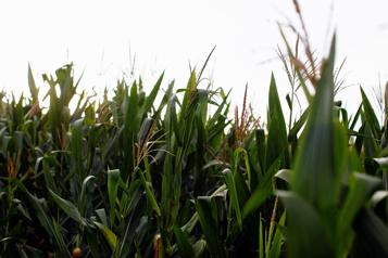 Le blé canadien en baisse Estimé à la hausse des récoltes mondiales de soja et de maïs