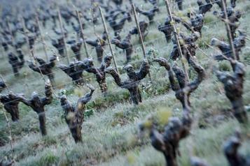 Gel dévastateur dans les vignobles français Le réchauffement climatique, suspect numéro1)