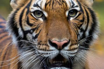 Un tigre d'un zoo de New York atteint de la COVID-19)