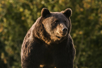 Le «roi» des ours roumains abattu par un prince du Liechtenstein )
