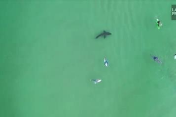 Quand le requin blanc arrive, les surfeurs s'esquivent )