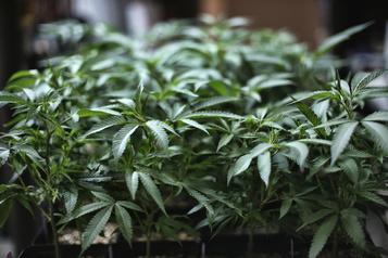 À vendre sur Kijiji: ordonnance de cannabis médicinal
