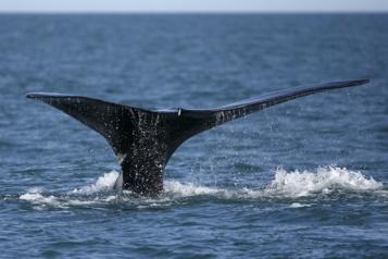 Massachusetts Un pêcheur s'en sort sain et sauf après avoir été «avalé» par une baleine)