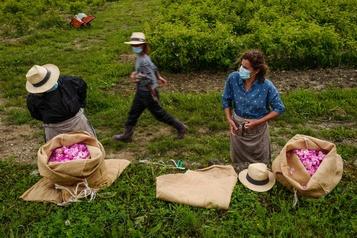 À Grasse, la récolte des fleurs en temps de COVID-19)