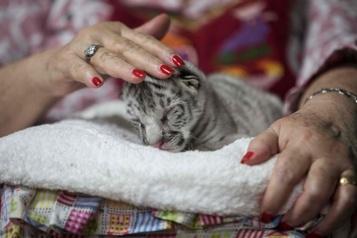Nicaragua Naissance dans un zoo d'une petite tigresse blanche)