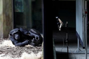 République Tchèque: des singes de deux zoos sociabilisent sur Zoom)
