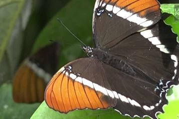 Selon une étude La Colombie abrite le plus grand nombre d'espèces de papillons au monde)