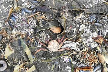 Kamtchatka Une ??catastrophe écologique?? provoque la mort massive d'animaux marins)