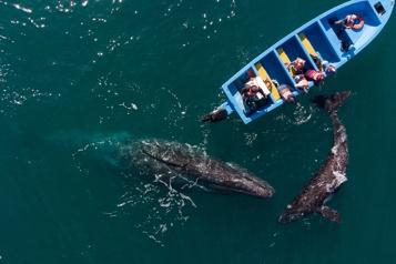 Mexique Les baleines grises sauvent le tourisme)