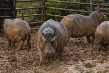 Colombie Les autorités stérilisent les envahissants hippopotames d'Escobar