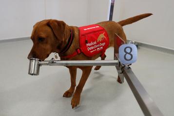 Royaume-Uni : des chiens dressés à flairer le coronavirus)